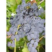 Саженцы винограда (сорт Молдова) фото