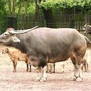 Откорм и забой бычков фото