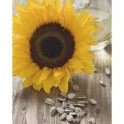 Обрушивание семян подсолнечника,производство масла фото