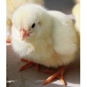 Суточные цыплята (курочки, петушки) фото