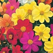 Семена цветов Георгины Миньон 0,2 г. смесь фото