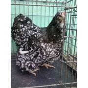 Цыплята брама орпингтон декоративные породистые фото