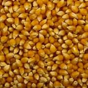 Кукуруза оптом, доставка по России фото