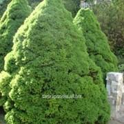 Ель Picea glauca Conica фото
