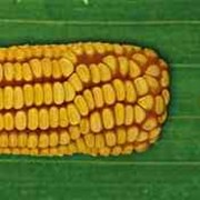 Семена гибрида кукурузы Модем МС 280 (ФАО 280)