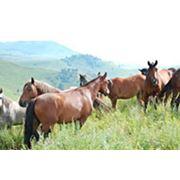 Лошади мясные фото
