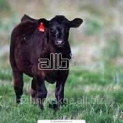 Племенной молодняк бычков фото