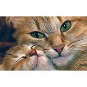 Очистительная клизма кошек фото