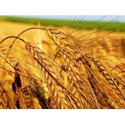 Пшеница зерна пшеницы фото