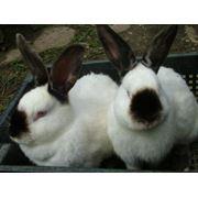 ЛПХ Лучегорский кролик фото