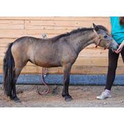Шетлендская пони фото