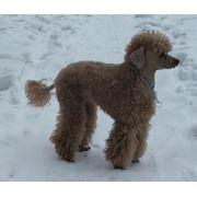 Стрижка собак. Груминг фото