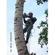 Удаление аварийных деревьв. фото
