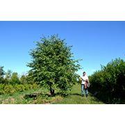 Питомник деревьев фото
