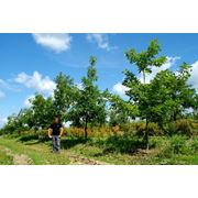 Продажа посадка деревьев крупных размеров