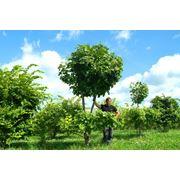 Большие деревья посадка и уход фото
