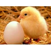 Инкубационные яйца бройлера КОББ-500 фото