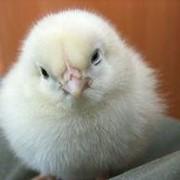 Цыплята бройлеров пород КОББ-500, РОСС-308 фото