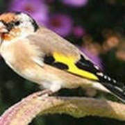 Птица щегол фото