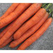 Морковь Нанко фото