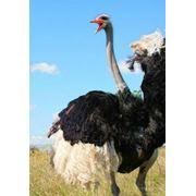 Южно-афанский страус фото