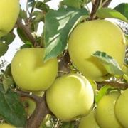 Яблоки голден фото