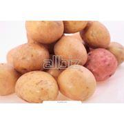 Картофель столовый фото