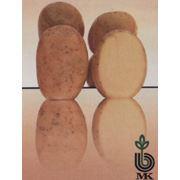 Картофель сорта Вершининский фото