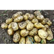 Продам семенной картофель фото