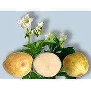 Картофель семенной элитный фото