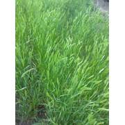 Семена житняка в саратове фото