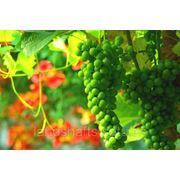 Создание виноградников фото