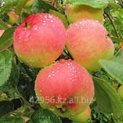 Саженцы яблонь Солнцедар фото