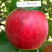 Горець сажанці яблонь фото