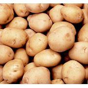 Картофель. фото