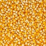 Кукуруза, Пшеница фото