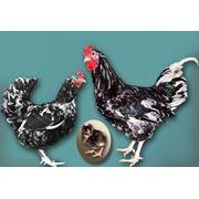 Куры австралорп черно – пестрый фото