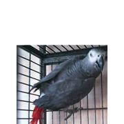 Птенцы жако краснохвостых фото