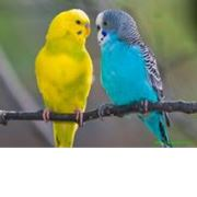 Попугай волнистый фото