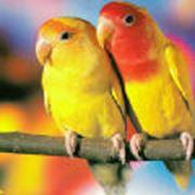 Попугаи неразлучники фото