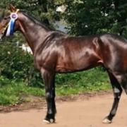 Лошадь рысистой породы фото