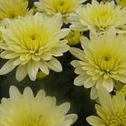 Семена хризантемы, Avalon cream.. Саженцы хризантемы фото