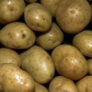 Картофель из Чернигова оптом фото