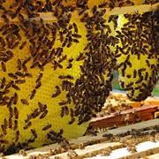 Развитие пчеловодства.