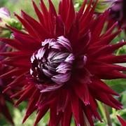 Георгина кактусовая Kenora Macop фото