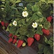 Саженцы: ягодные фото