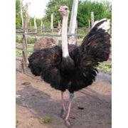 Племенной молодняк страуса фото