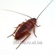Уничтожение тараканов Великий Новгород фото