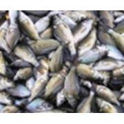 Рыбопосадочный материал фото