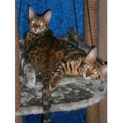 Бенгальские котята фото